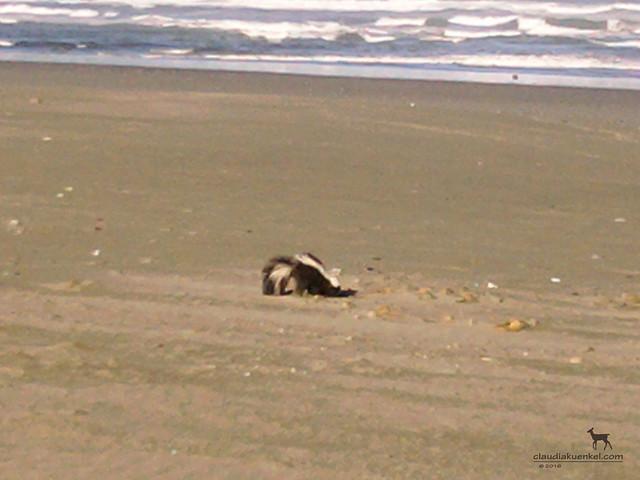 skunk on the beach
