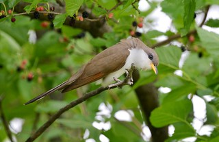 Yellow-billed Cuckoo | by Wildreturn