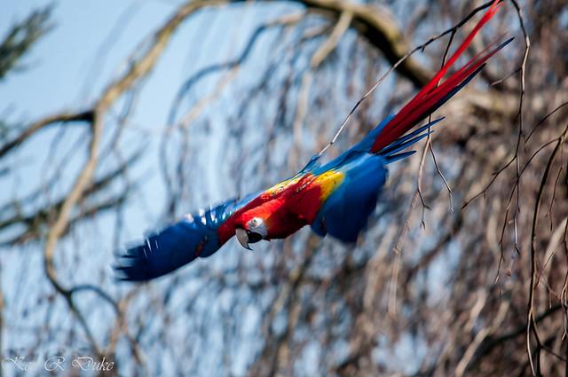 Welt Vogel Park Walsrode - Scarlet Macaw