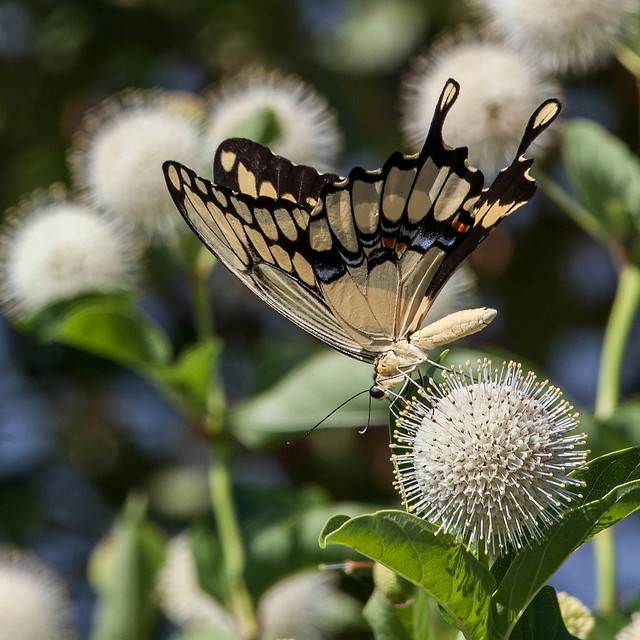 Swallowtail Butterfly on Button Bush