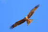 Whistling Kite (Haliastur sphenurus) Darwin, Australia 2016 by Ricardo Bitran