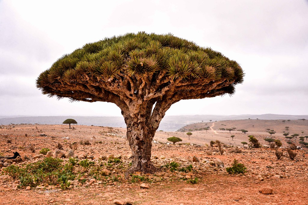 photo of dragon's blood tree