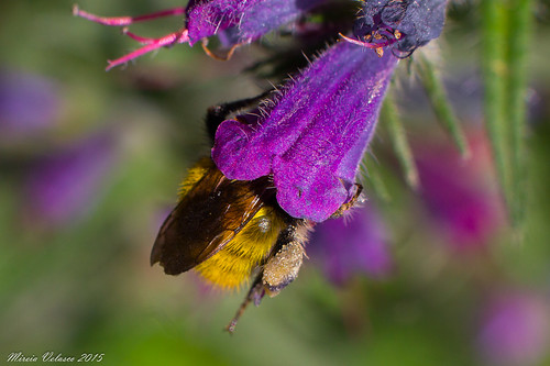 Bombus sp. | by Miriacler