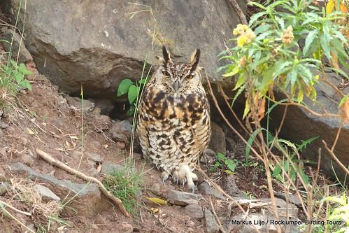markuslilje kenya bird birds owl eagleowl capeeagleowl mackinderseagleowl bubocapensis
