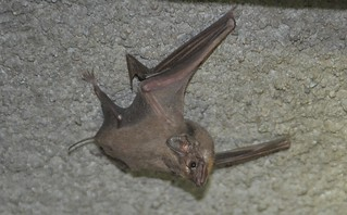 Egyptian Tomb Bat | by curtisfrommichigan