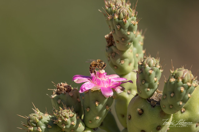 Bee on Cactus Flower