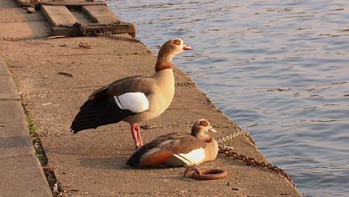 Egyptian Goose pair | by Andrew Skotnicki