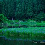平池の燕子花