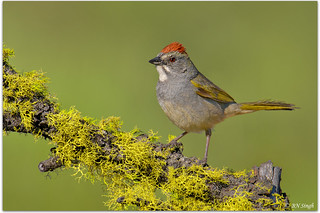 Green-tailed Towhee | by BN Singh