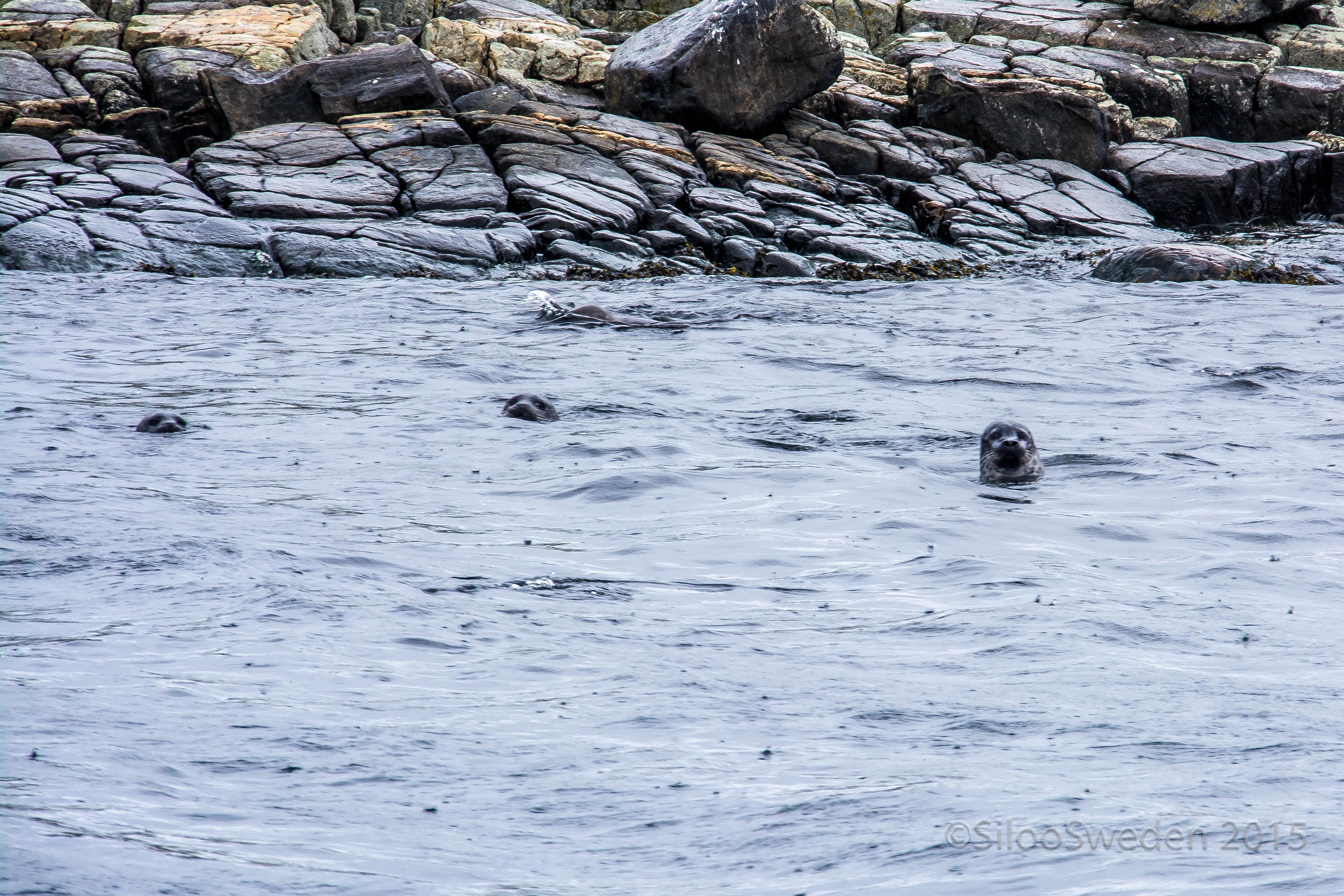 20160813 Seals outside Hallands Väderö