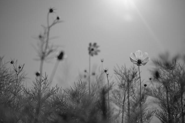 summer sky and cosmos(monochrome)/夏空にコスモス
