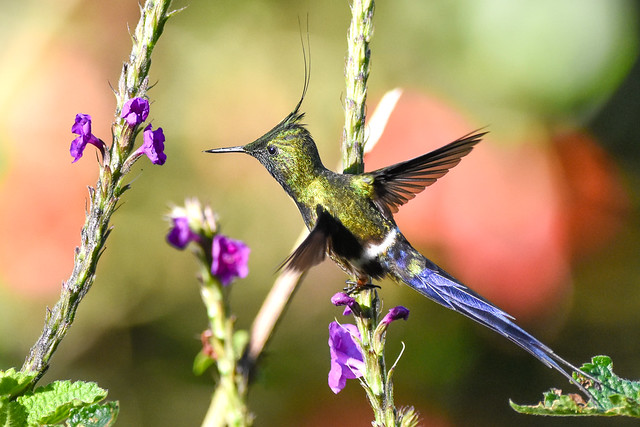 Wire-crested Thorntail  Hummingbird / Colibri .Manu... Peru / Pérou