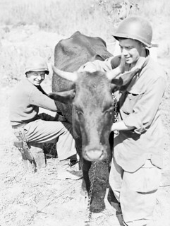 Member of the First Special Service Force milking a cow, Anzio beachhead, Italy / Membre de la Première Force de Service spécial trayant une vache, tête de pont (zone sécurisée) d'Anzio (Italie)
