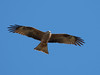 Black kite / Schwarzmilan (Milvus migrans) by ralph_behrens