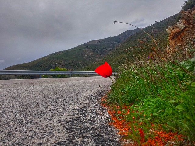 Red poppy on the road