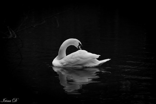 Every lake belongs to the quietness desired by the swans