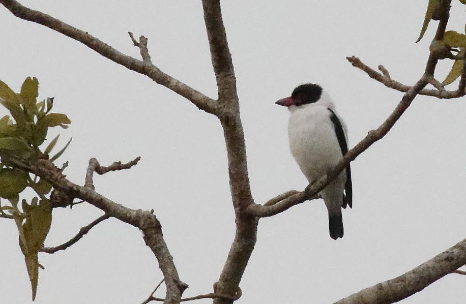 Black-tailed Tityra_17-09-27_Tityra cayana