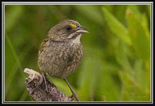Seaside Sparrow | by Gregs eBirds