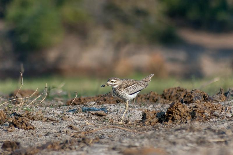 A Little Bird along the Banks of the  Chobe River