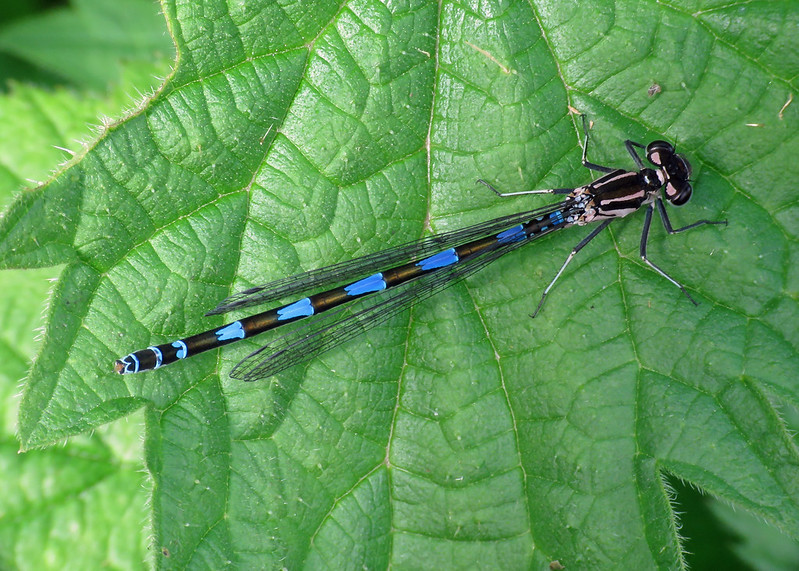 Variable Damselfly - Coenagrion pulchellum