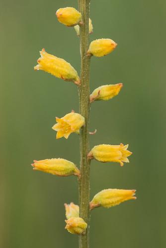 native herb monocots aletrislutea yellowcolicroot nartheciaceae bogasphodelfamily