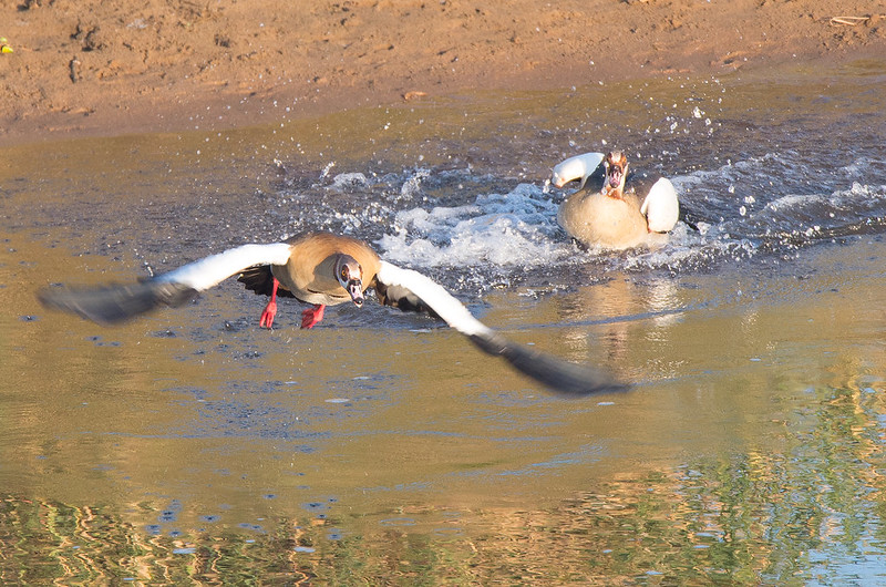 Egyptian goose having an argument