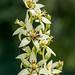 Zigadenus glaberrimus - Photo (c) Tom Potterfield, μερικά δικαιώματα διατηρούνται (CC BY-NC-SA)