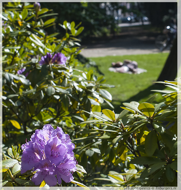 06-04-2015-Wilhelminapark-Rhodondendron-Warm-Springday