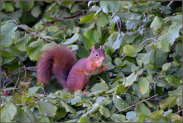 Ecureuil roux ( Sciurus vulgaris )