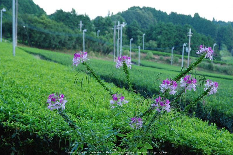 山添村,お茶畑(K70_1059,53 mm,F6.3,iso800)2016yaotomi