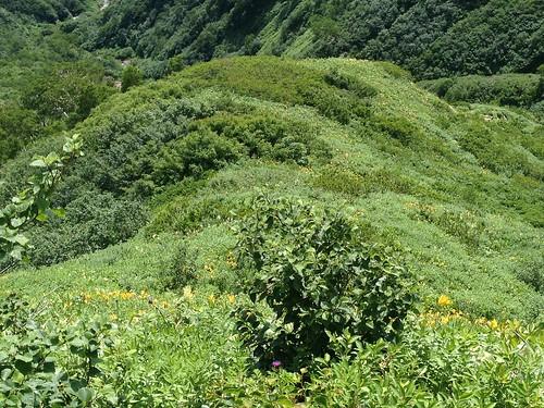 白山 平瀬道 眼下のニッコウキスゲ群落   by ichitakabridge