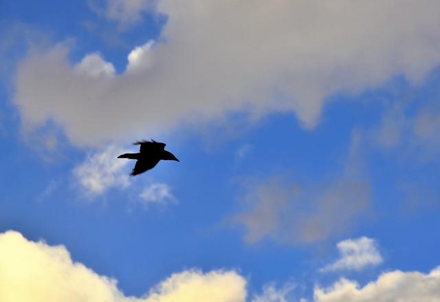 A Raven Flying Over Me (Grand Teton National Park)