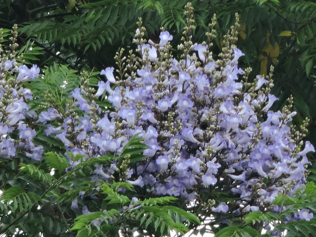 Jacaranda copaia (Aubl.) D. Don