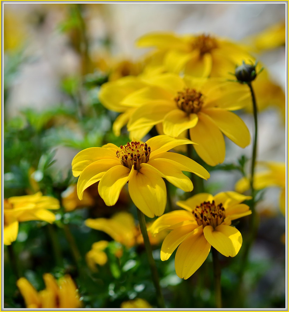 Bidens Ferulifolia Cool Yellow Flowers In The Front Yard Flickr