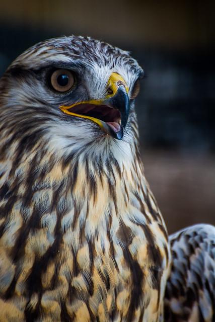 Buteo lagopus (Rough-legged Hawk / Buse Pattue)