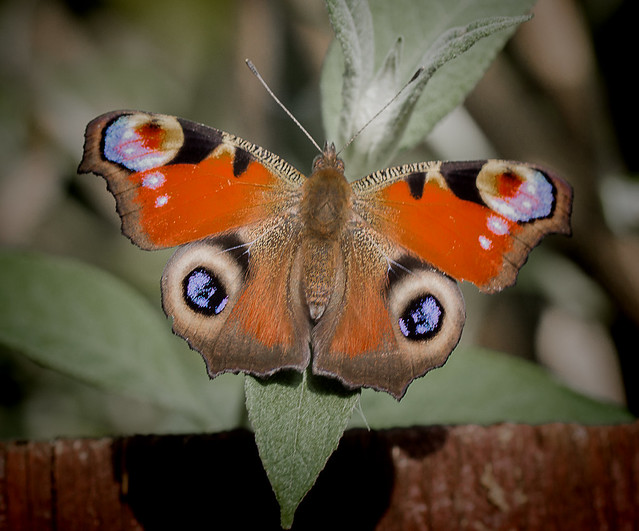 Peacock Butterfly. Inachis io.