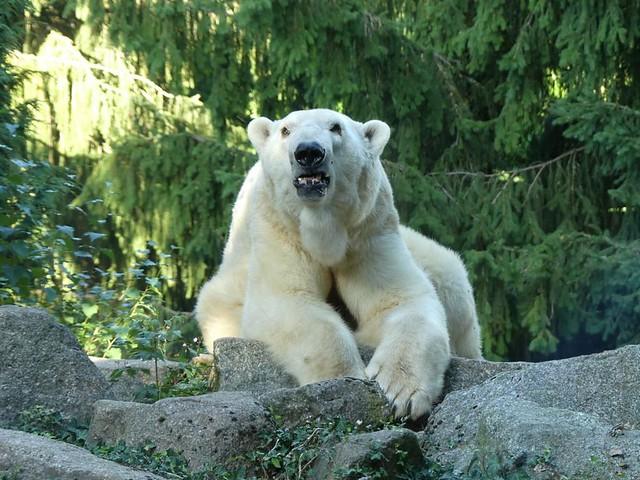 Eisbär, Zoo d´Amnéville
