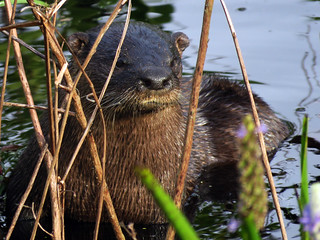 North American River Otter (Lontra canadensis)   by magnificentfrigatebird