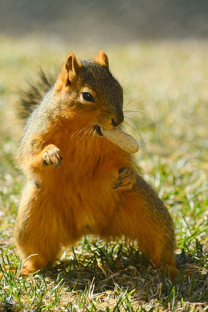 Red Squirrel Disco Dances For A Nut ...
