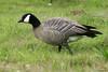 Cackling Goose (Branta hutchinsii) by youngwarrior