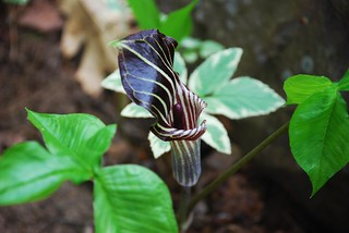 Jack In The Pulpit | by A Storybook Life