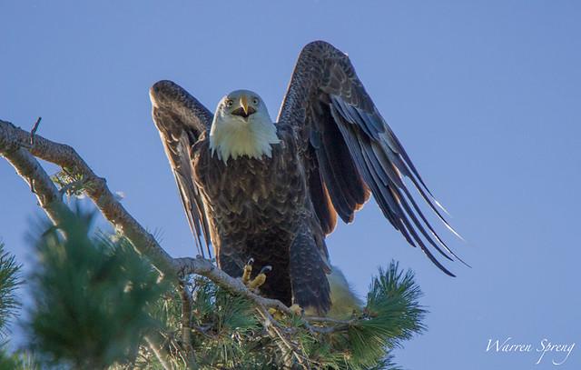 Angry-Eagle-9142015