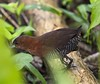 white-throated crake by hawk person
