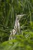 Crabier chevelu - Squacco Heron by Mhyrdin