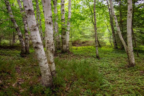 trees mi nature landscape green forest woods beaverisland birch michigan unitedstates us