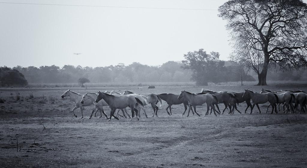 wild horses early morning