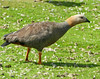 Ruddy-headed Goose (Chloephaga rubidiceps) by Francisco Piedrahita
