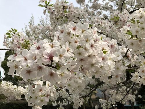 Sakura | by avbertrand1