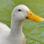 showy duck