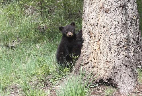 Rosie cub 5-24-3028 | by mknopfling